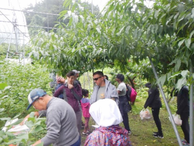 Fruit picking in Nanbu town, famous for its fresh fruits.